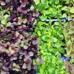 Qué son y por qué comer microgreens
