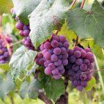 Resveratrol, el antioxidante que salió del vino