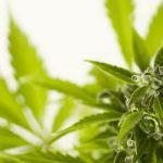 Beneficios de la marihuana en tu cuerpo y tu cerebro